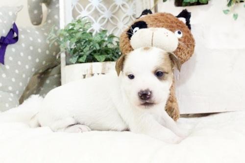 ジャックラッセルテリアの子犬(ID:1255411905)の3枚目の写真/更新日:2018-02-22