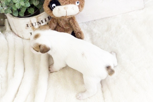ジャックラッセルテリアの子犬(ID:1255411905)の4枚目の写真/更新日:2018-02-22