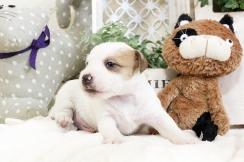 ジャックラッセルテリアの子犬(ID:1255411905)の5枚目の写真/更新日:2018-02-22