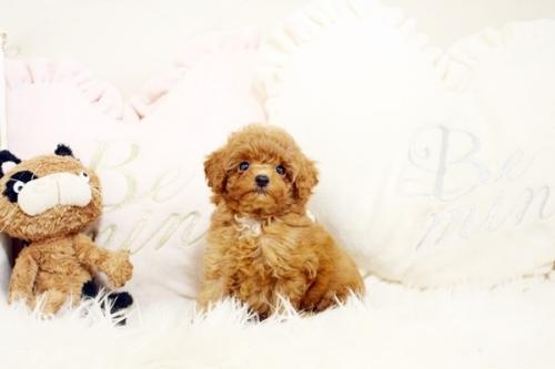 トイプードルの子犬(ID:1255411906)の1枚目の写真/更新日:2018-02-22