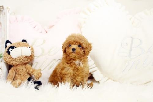 トイプードルの子犬(ID:1255411906)の2枚目の写真/更新日:2018-02-22
