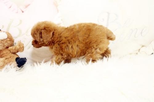トイプードルの子犬(ID:1255411906)の3枚目の写真/更新日:2018-02-22