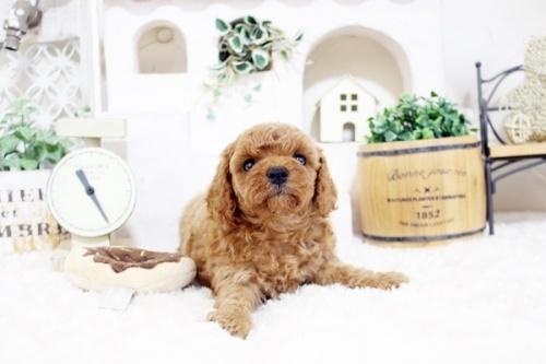 トイプードルの子犬(ID:1255411907)の1枚目の写真/更新日:2018-02-22