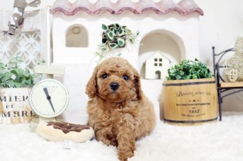 トイプードルの子犬(ID:1255411907)の2枚目の写真/更新日:2018-02-22