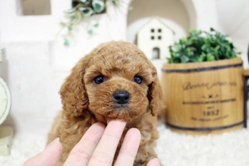 トイプードルの子犬(ID:1255411907)の3枚目の写真/更新日:2018-02-22