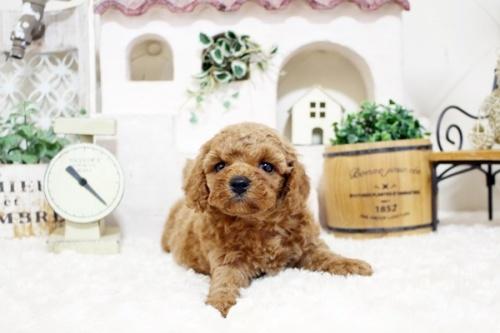 トイプードルの子犬(ID:1255411907)の4枚目の写真/更新日:2018-02-22