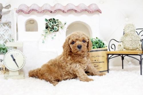 トイプードルの子犬(ID:1255411907)の5枚目の写真/更新日:2018-02-22