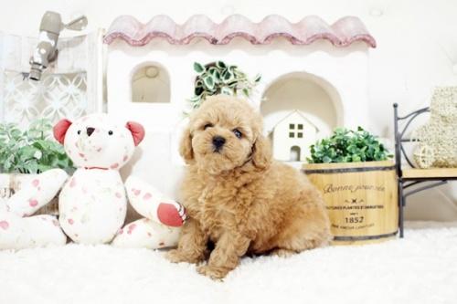 トイプードルの子犬(ID:1255411908)の1枚目の写真/更新日:2018-02-22