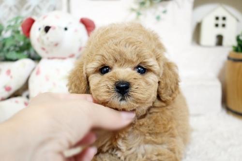 トイプードルの子犬(ID:1255411908)の2枚目の写真/更新日:2018-02-22