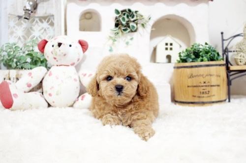 トイプードルの子犬(ID:1255411908)の3枚目の写真/更新日:2018-02-22