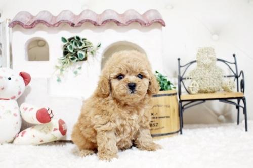 トイプードルの子犬(ID:1255411908)の4枚目の写真/更新日:2018-02-22