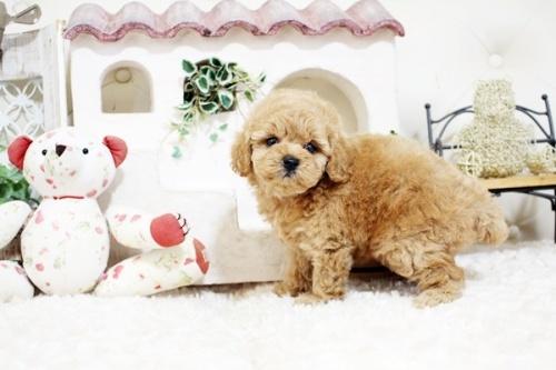 トイプードルの子犬(ID:1255411908)の5枚目の写真/更新日:2018-02-22