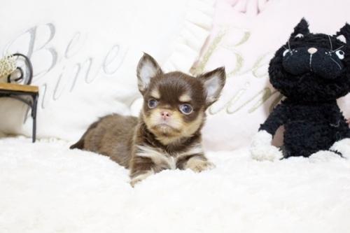 チワワ(ロング)の子犬(ID:1255411909)の1枚目の写真/更新日:2018-12-07