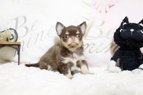 チワワ(ロング)の子犬(ID:1255411909)の2枚目の写真/更新日:2018-05-28