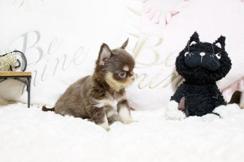 チワワ(ロング)の子犬(ID:1255411909)の3枚目の写真/更新日:2018-05-28