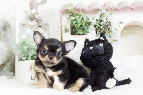 チワワ(ロング)の子犬(ID:1255411910)の2枚目の写真/更新日:2018-02-22