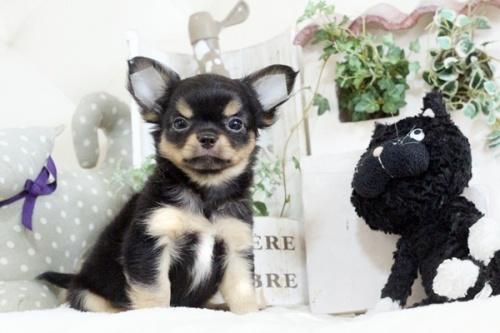チワワ(ロング)の子犬(ID:1255411910)の3枚目の写真/更新日:2018-02-22
