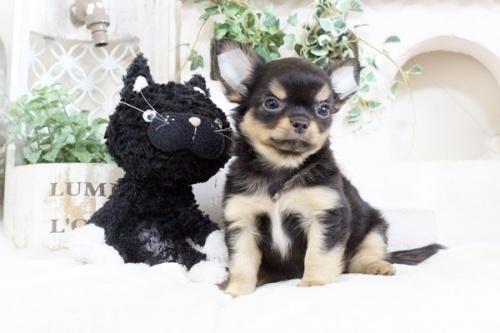 チワワ(ロング)の子犬(ID:1255411910)の4枚目の写真/更新日:2018-02-22