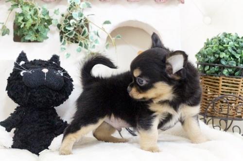チワワ(ロング)の子犬(ID:1255411910)の5枚目の写真/更新日:2018-02-22
