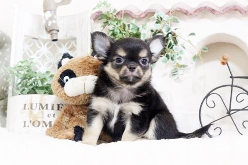 チワワ(ロング)の子犬(ID:1255411911)の1枚目の写真/更新日:2018-02-22