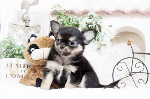 チワワ(ロング)の子犬(ID:1255411911)の2枚目の写真/更新日:2018-02-22