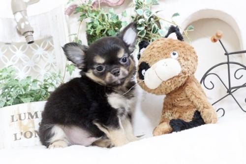 チワワ(ロング)の子犬(ID:1255411911)の3枚目の写真/更新日:2018-02-22