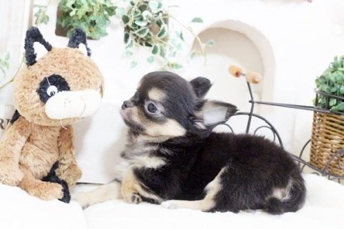 チワワ(ロング)の子犬(ID:1255411911)の4枚目の写真/更新日:2018-02-22