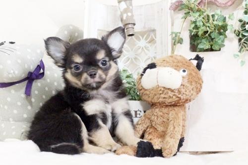 チワワ(ロング)の子犬(ID:1255411911)の5枚目の写真/更新日:2018-02-22