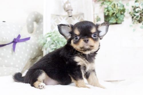 チワワ(ロング)の子犬(ID:1255411912)の1枚目の写真/更新日:2018-02-22