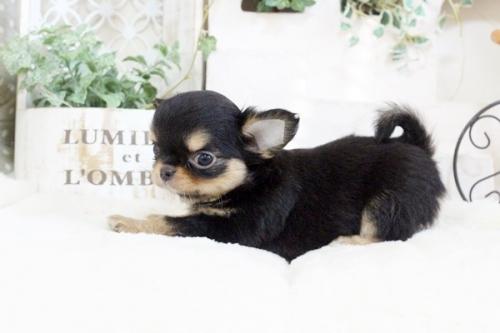 チワワ(ロング)の子犬(ID:1255411912)の2枚目の写真/更新日:2018-02-22