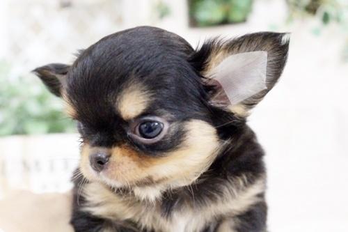 チワワ(ロング)の子犬(ID:1255411912)の3枚目の写真/更新日:2018-02-22