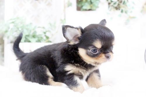 チワワ(ロング)の子犬(ID:1255411912)の4枚目の写真/更新日:2018-02-22