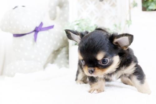 チワワ(ロング)の子犬(ID:1255411912)の5枚目の写真/更新日:2018-02-22