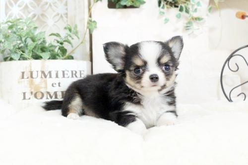 チワワ(ロング)の子犬(ID:1255411913)の1枚目の写真/更新日:2018-02-22