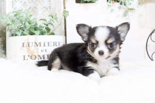 チワワ(ロング)の子犬(ID:1255411913)の2枚目の写真/更新日:2018-02-22