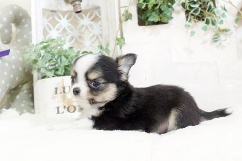 チワワ(ロング)の子犬(ID:1255411913)の3枚目の写真/更新日:2018-02-22