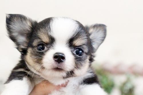チワワ(ロング)の子犬(ID:1255411913)の4枚目の写真/更新日:2018-02-22