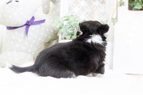チワワ(ロング)の子犬(ID:1255411913)の5枚目の写真/更新日:2018-02-22