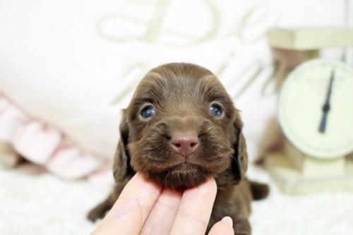カニンヘンダックスフンド(スムース)の子犬(ID:1255411914)の1枚目の写真/更新日:2020-06-10