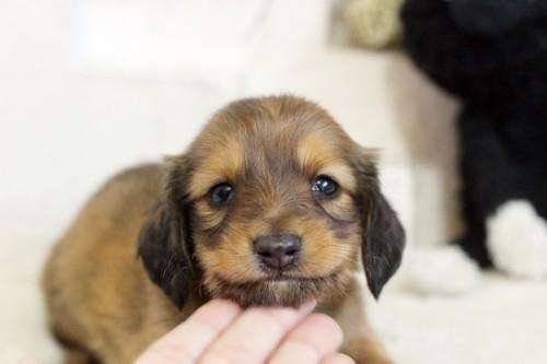 カニンヘンダックスフンド(ロング)の子犬(ID:1255411915)の1枚目の写真/更新日:2019-01-07