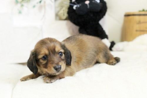 カニンヘンダックスフンド(ロング)の子犬(ID:1255411915)の3枚目の写真/更新日:2018-02-22