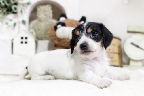 カニンヘンダックスフンド(ロング)の子犬(ID:1255411916)の1枚目の写真/更新日:2018-02-22