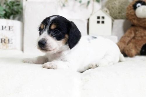カニンヘンダックスフンド(ワイアー)の子犬(ID:1255411916)の2枚目の写真/更新日:2019-04-23