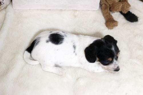 カニンヘンダックスフンド(ワイアー)の子犬(ID:1255411916)の3枚目の写真/更新日:2019-04-23