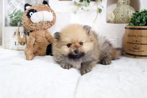 ポメラニアンの子犬(ID:1255411917)の1枚目の写真/更新日:2021-04-02