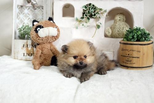 ポメラニアンの子犬(ID:1255411917)の2枚目の写真/更新日:2021-04-02