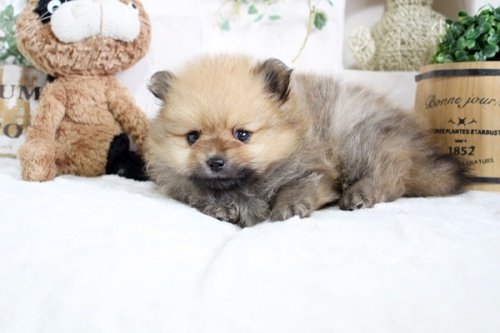 ポメラニアンの子犬(ID:1255411917)の3枚目の写真/更新日:2021-04-02