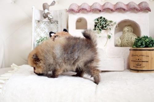ポメラニアンの子犬(ID:1255411917)の4枚目の写真/更新日:2021-04-02