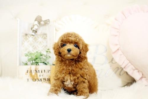 トイプードルの子犬(ID:1255411918)の1枚目の写真/更新日:2018-02-26