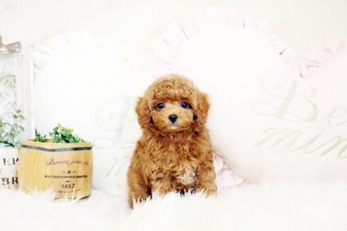 トイプードルの子犬(ID:1255411918)の2枚目の写真/更新日:2020-05-04